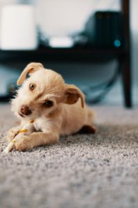 Carpeting options for pets, dog on carpet