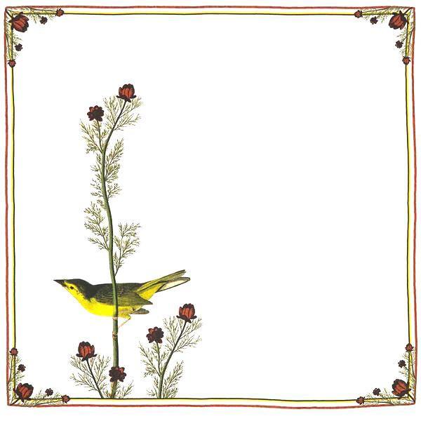 Selby S lycatcher bird audubon